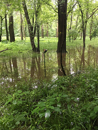 A small swamp in the woods where Estrada did her research on turtles.